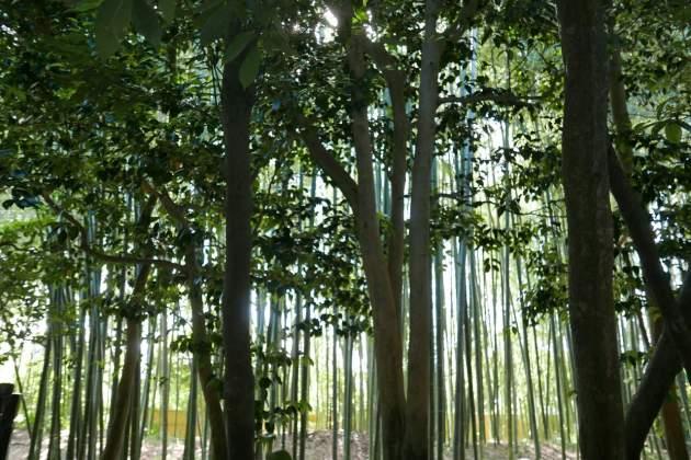 ginkaku bamboo